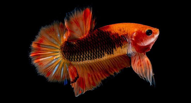 Ikan Cupang Red Dragon handal dan keren