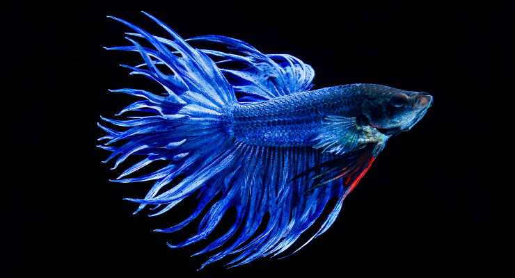 Crowntail Betta Fish Tail
