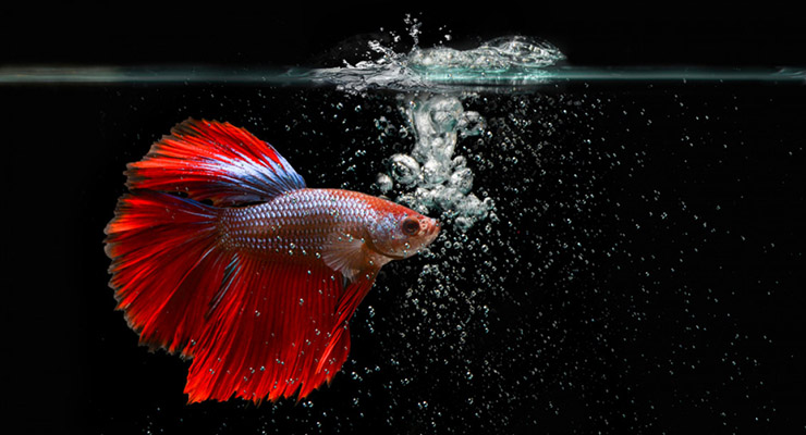 Ikan Cupang Red Dragon Half Moon