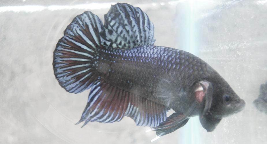 Ikan cupang hitam Biru Sakit warna pudar