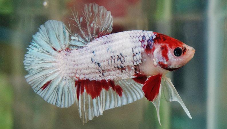 Sisik Ikan Cupang Rusak karena penyakit