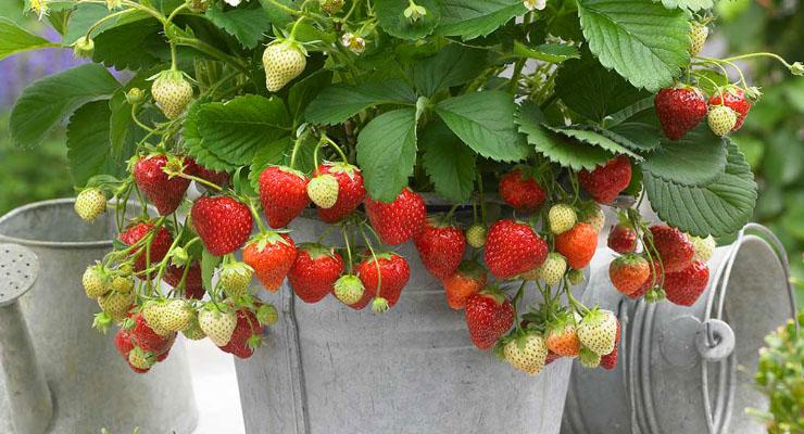 Cara Menanam Strawberry di daerah panas