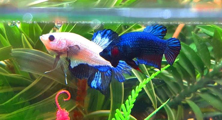 Dua Ikan Cupang HIas Beradu di Aquarium