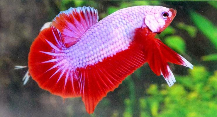 Ikan Cupang Plakat Merah