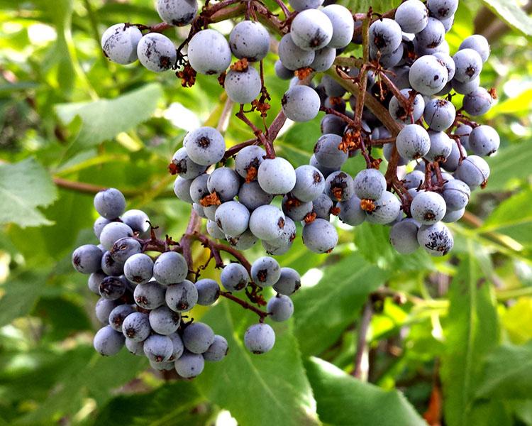 Buah Blue-Elderberry rasa buah segar