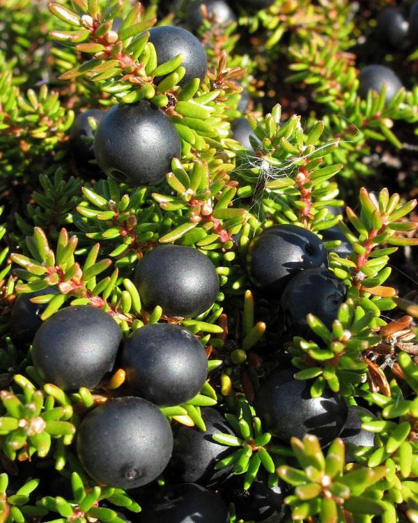 Crowberry tanaman buah semak asli Alaska