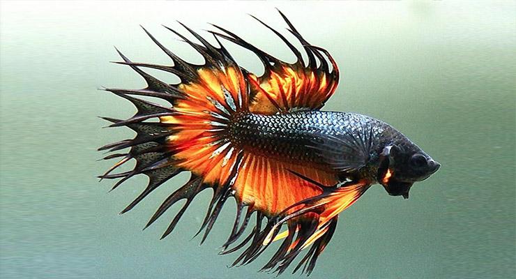 Ikan Cupang Crowntail keren serit merah hitam