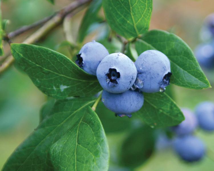 Buah Blueberry segar di atas pohon