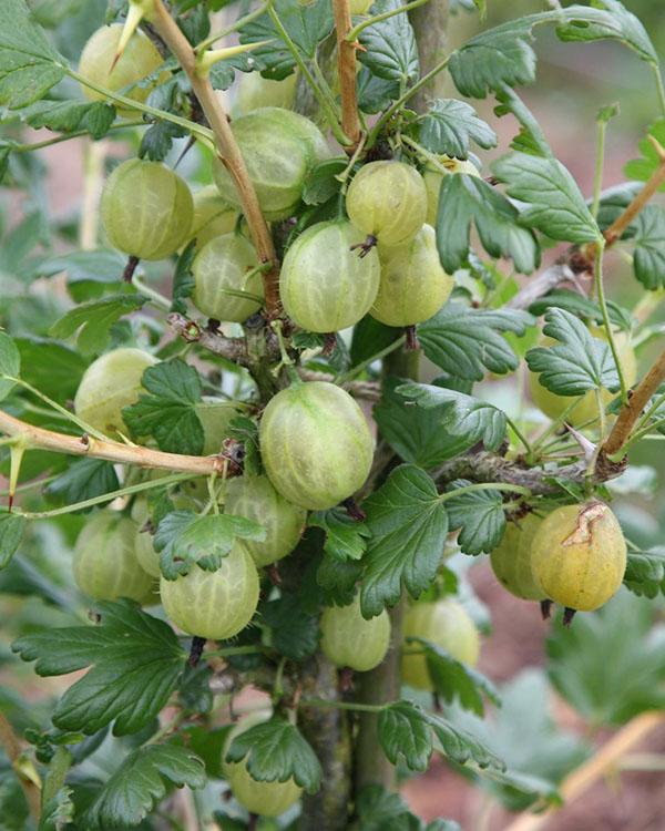 Buah dan tanaman Goosyberry