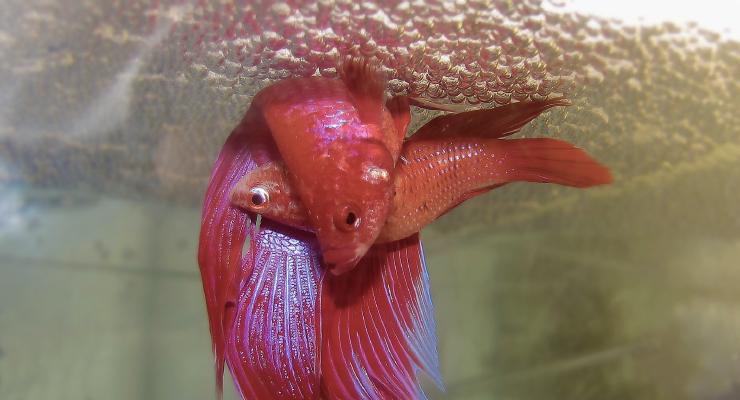 Ikan Cupang Merah sedang kawin