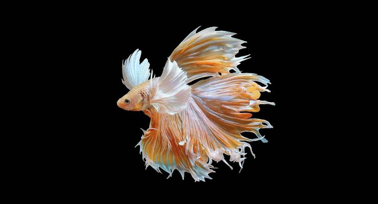 Ikan Cupang indha dan ekor rombeng panjang