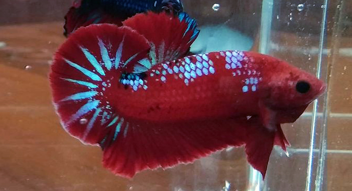Ikan Cupang Red dragon sangar dan cantik