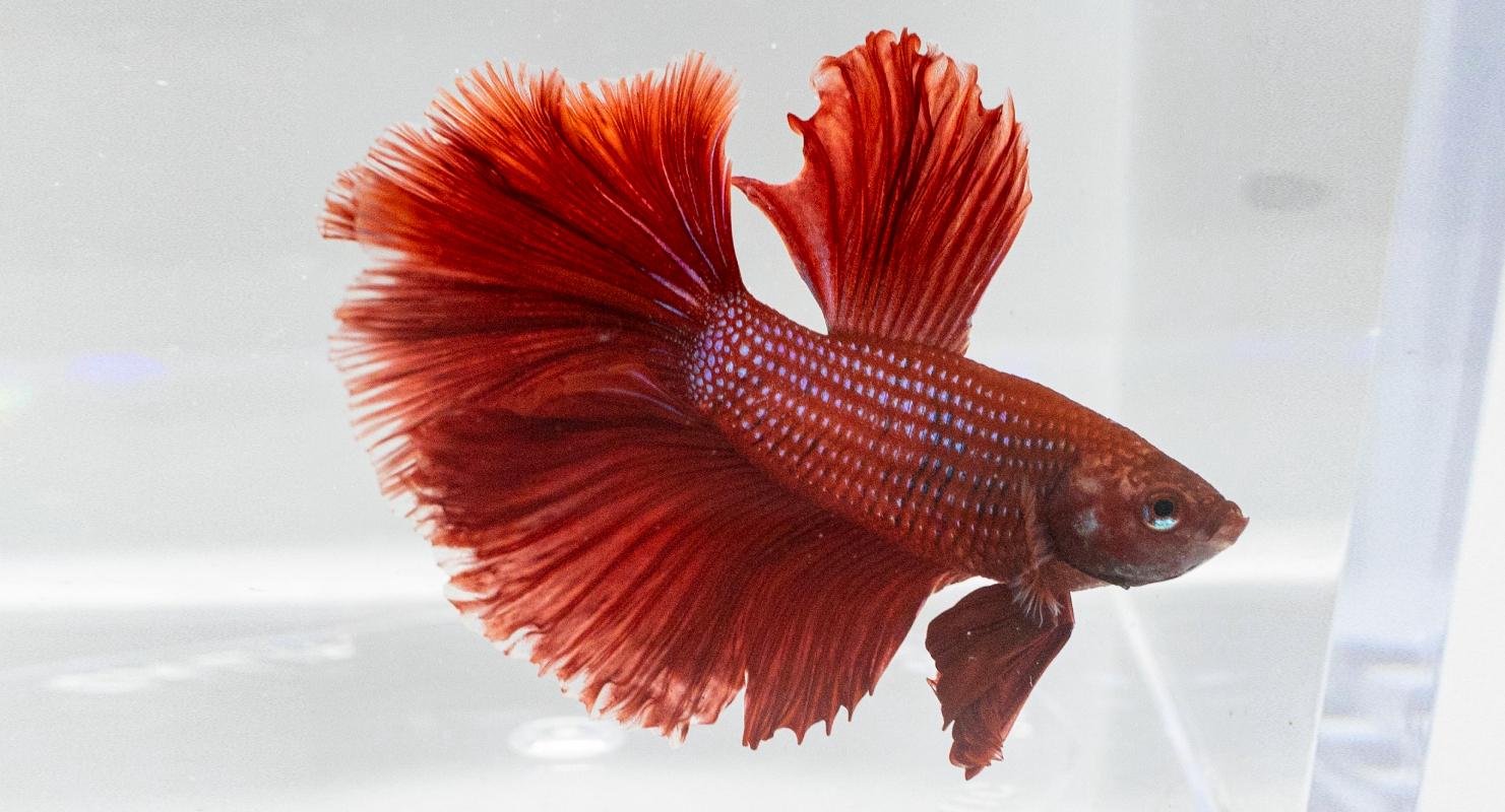 Ikan cupang ekor meran bitta fish yang keren
