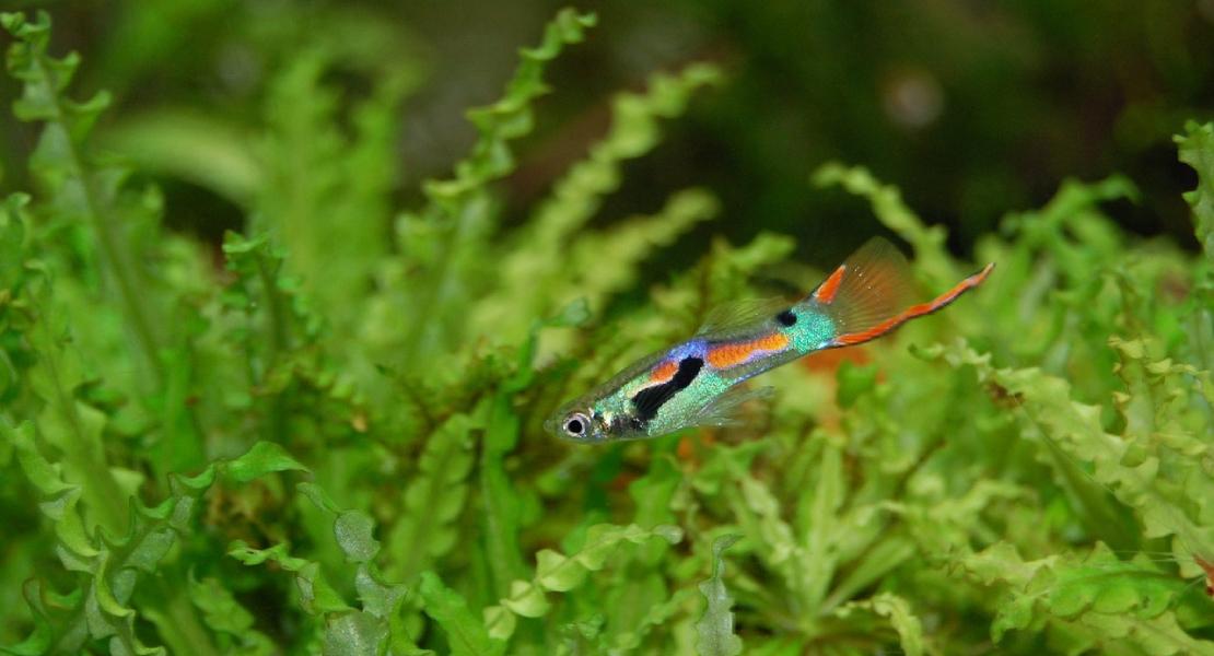 Ikan Guppy Bottom Swordtail yang ekren