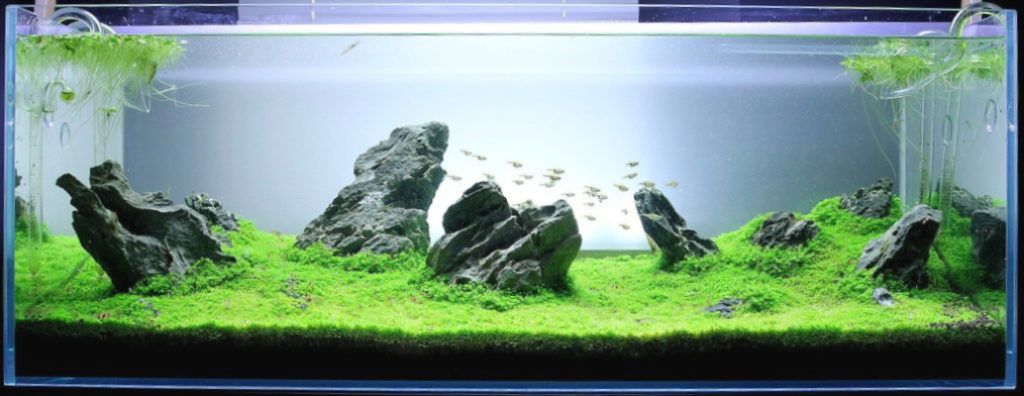 Ikan Schooling Fish cocok untuk aquascape type iwagumi