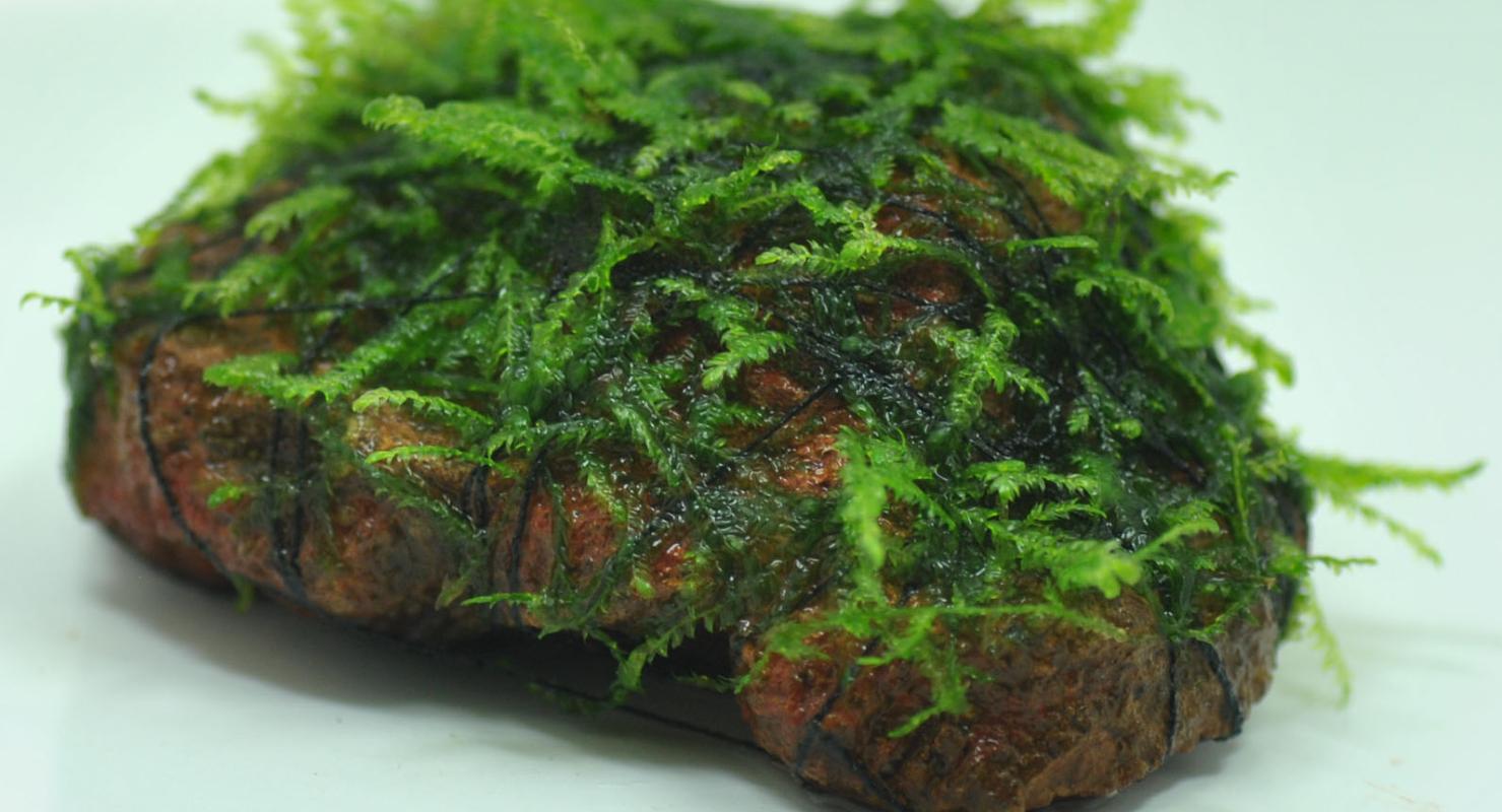 Tanaman Java Moss yang melekat di batu
