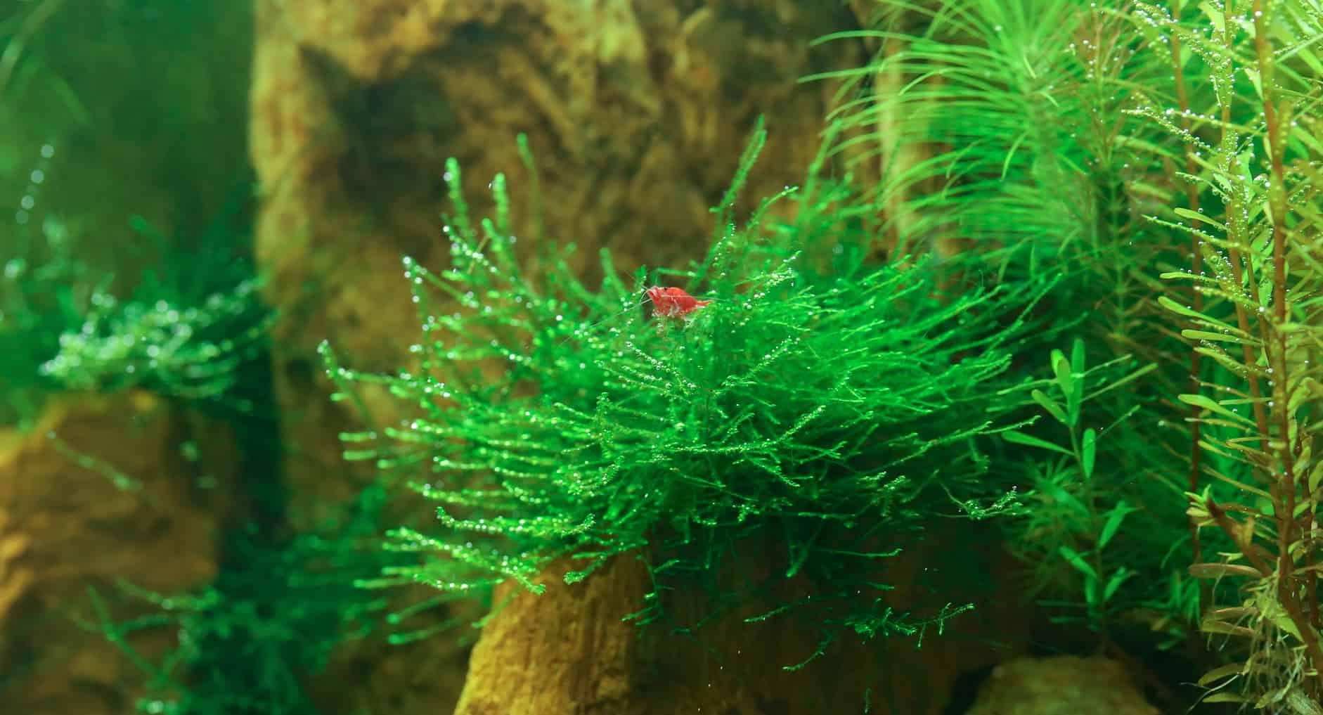 Java Moss dan udang di Dalam Tanki Aquascape Taxiphyllum barbieri