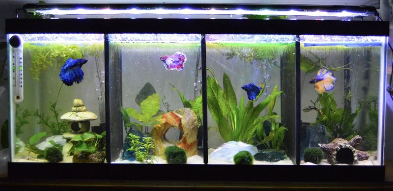 Ikan cupang dirawat secara solitare di tanki aquarium terpisah