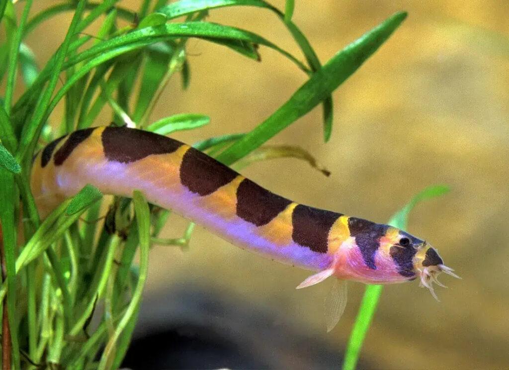 Ikan KOhle Laoch keren