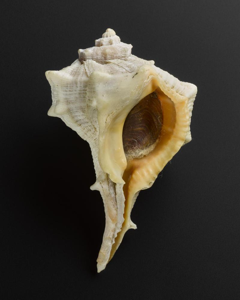 Cangkang kerang Bolinus brandaris. Mulska warna ungu