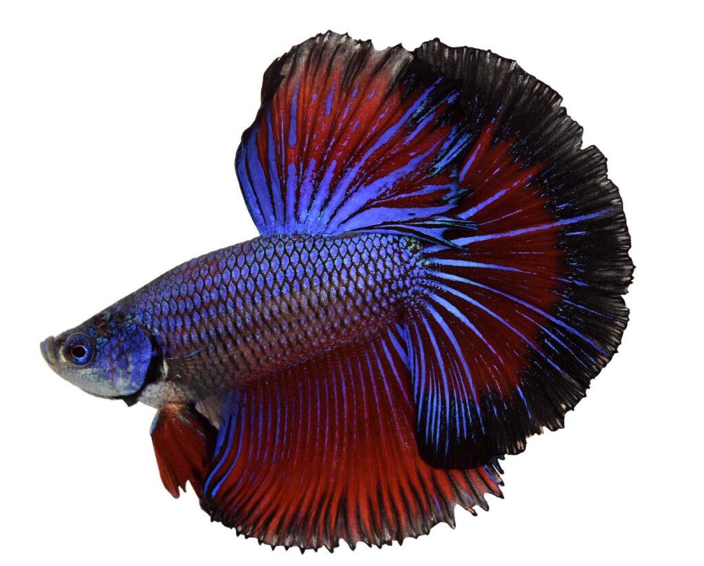 Jenis Ikan Betta Cupang dengan waran badan yang keren halfmoon
