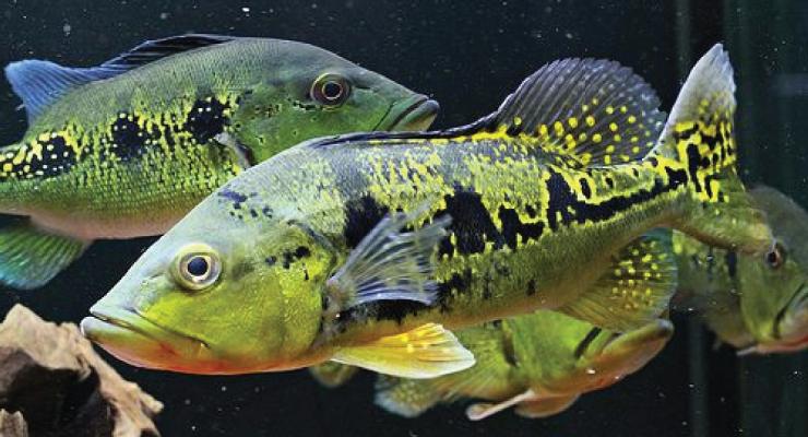 Cara Beternak dan budiday ikan Pbass