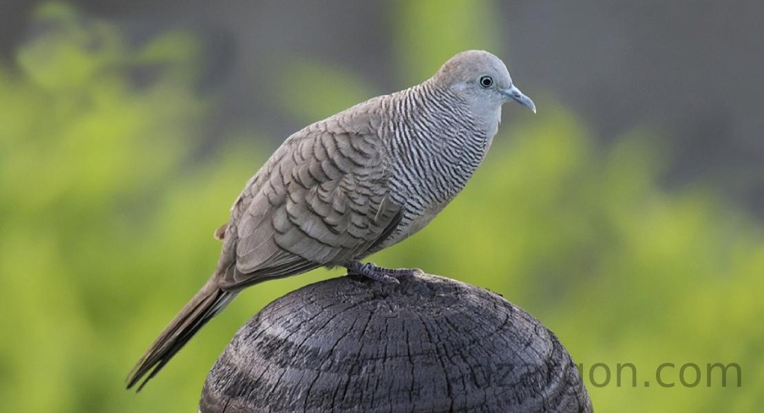 Burung perkutu jantan di atas pohon kelapa
