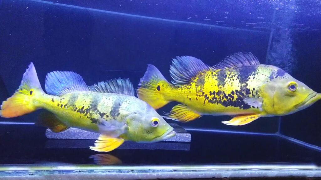 Ikan Pbass Jantan dan Betina